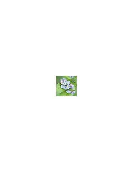 """Anemone Coronaria """" De Caen"""""""