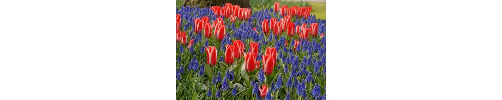 Forårs løg købes online hos den engelske gartner shop