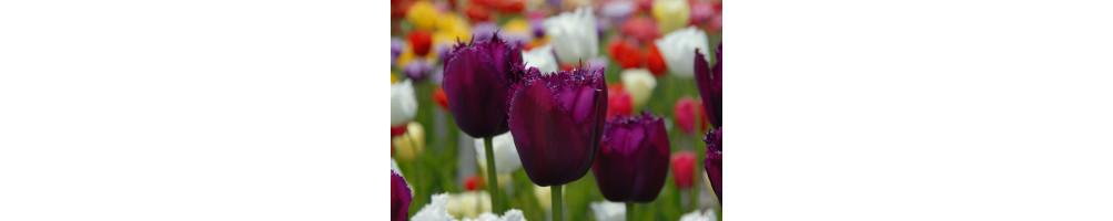 Tulipan løg købes online hos den engelske gartner shop