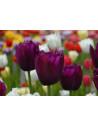 Tulipan løg