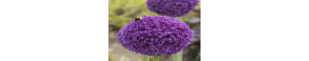 Allium købes online hos den engelske gartner shop