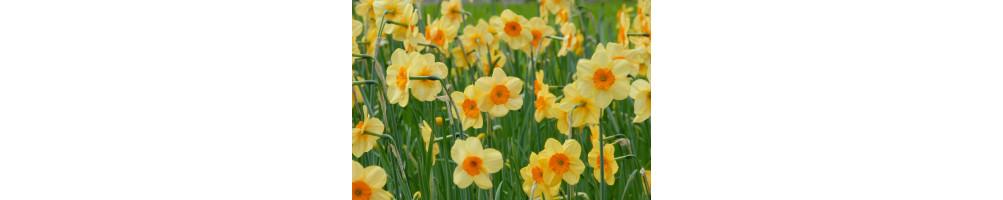 Påskeliljer/ Pinseliljer købes online hos den engelske gartner shop